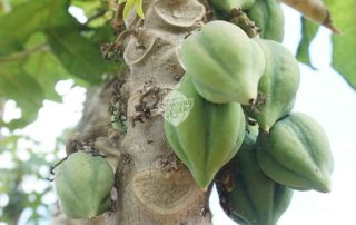 pohon carica